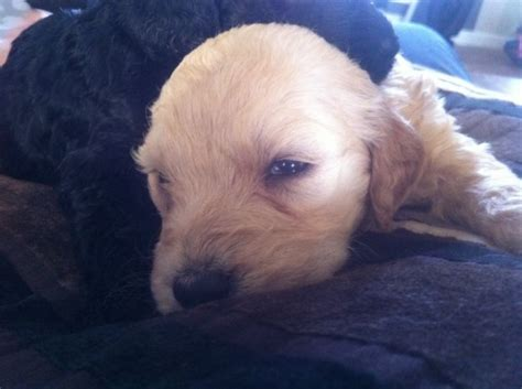 goldendoodle puppies florida fl goldendoodles goldendoodles for sale