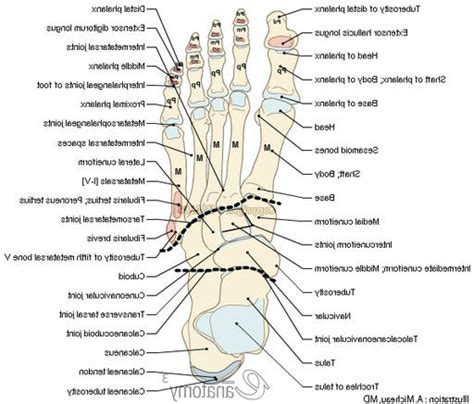 labelled diagram of foot left foot anatomy bones anatomy organ