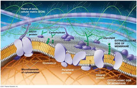 anatomy  physiology  flexible plasma membrane