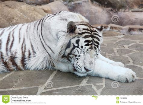a sleeping tiger a novel of the breeds books white tiger in the moscow zoo breeds picture