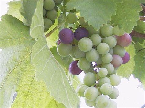 uva da tavola pugliese l uva pugliese laterradipuglia it