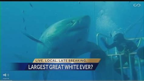 enormous great white shark believed   largest