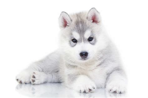 husky pomeranian grown all about husky pomeranian mix grown pomsky puppies the husky mix