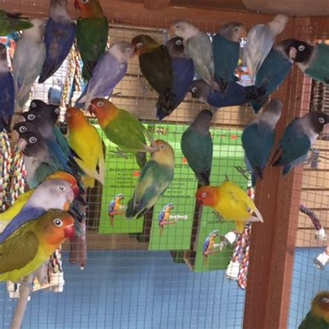 fischers lovebird 133389 for sale in chicago il