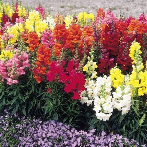 fiori bocche di bocche di fiori piante annuali i fiori bocca di