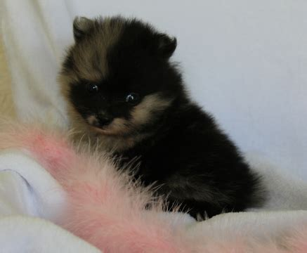pomeranian puppies for sale in arkansas view ad pomeranian puppy for sale arkansas harrison usa