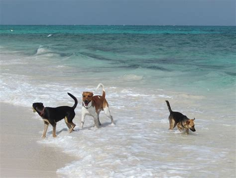 puppy island turks and caicos there is an island where you can cuddle puppies on the or even adopt them favogram