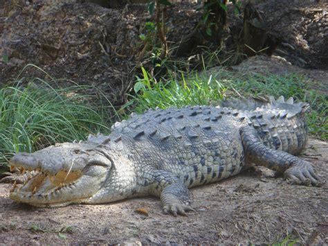 Japit Buaya Kecil Jepitan Crocodile Kecil fakta tentang buaya amerika juragan cipir