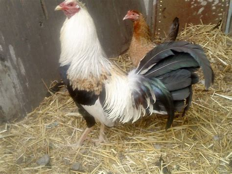 Videos De Mejores Razas De Gallos Navajeros Peruanos | videos de mejores razas de gallos navajeros peruanos