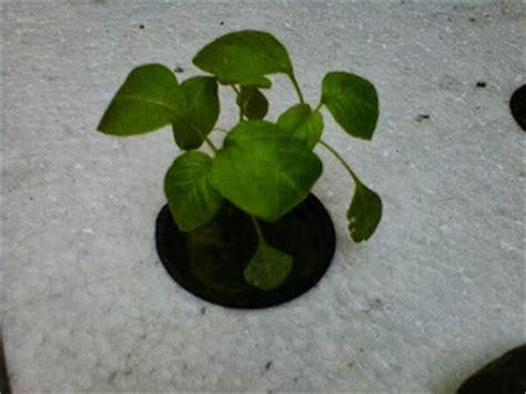 Bibit Sayuran Bayam september 2013 cara menanam sayuran hidroponik mudah dan