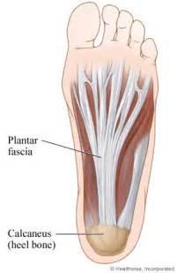 plantar fascia bottom view
