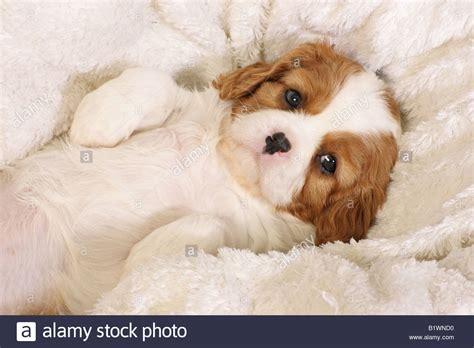 king cavalier spaniel puppy cavalier king charles spaniel puppy lying on blanket