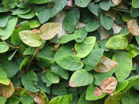 houseplant vine ficus pumila wikipedia