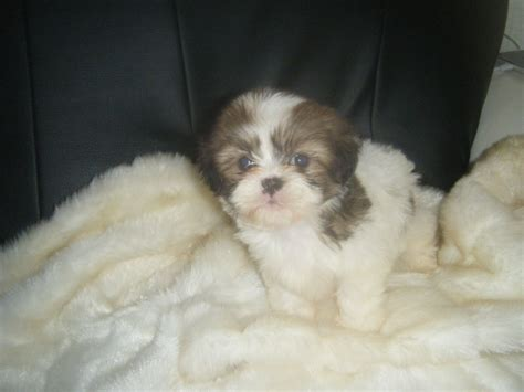 mini shih tzu breeders miniature shih tzu puppies for sale welwyn garden city hertfordshire pets4homes