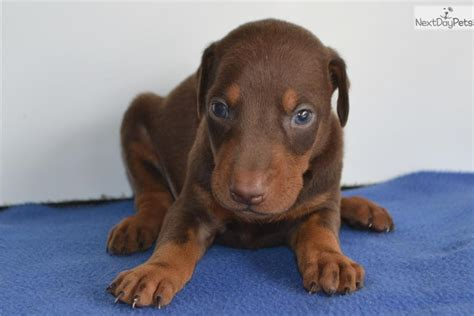 doberman puppies for sale in indiana doberman pinscher puppies www imgkid the image kid has it