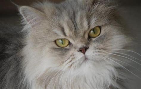 immagini di gatti persiani tipi di gatto persiano immagini e curiosit 224