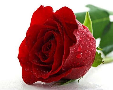 imagenes rosas jpg image gallery imagenes rosas