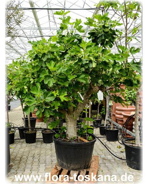 Winterharte Pflanzen Für Terrasse 843 by Ficus Carica Violette Feigen Pflanzen Feigenbaum