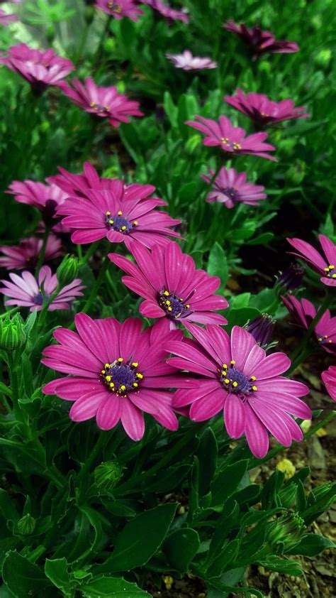 wallpaper daisy flowers pink daisies blossom hd