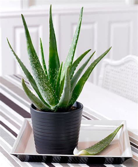 where to buy house plants buy house plants now aloe vera bakker com