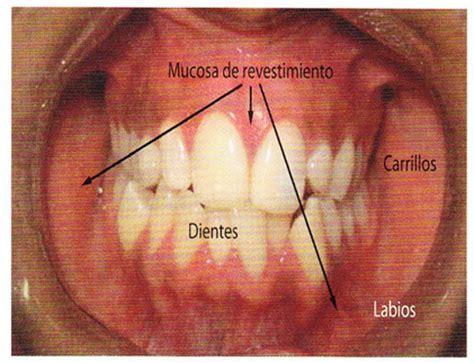 vestibulo oral que es radicales libres aparato digestivo