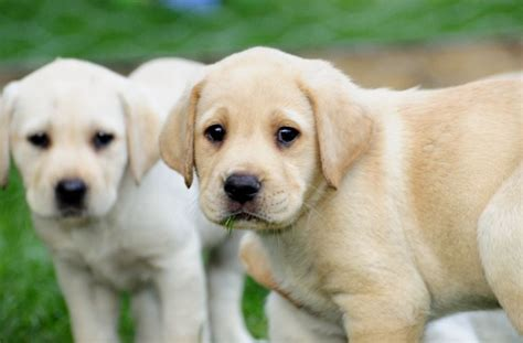 labra puppy golden retriever pups breeds picture