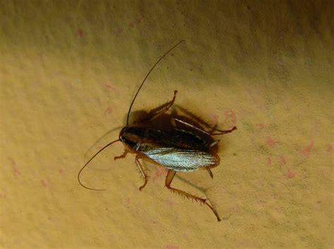 scarafaggi volanti come difendersi dagli scarafaggi manuale di