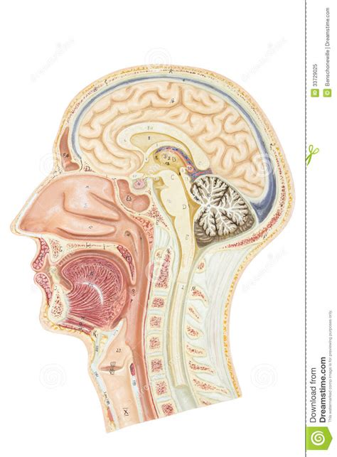 cross section of head cross section of human head royalty free stock photo