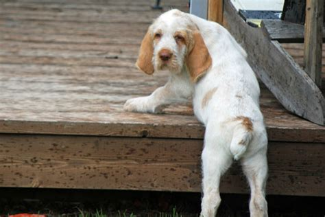spinone italiano puppy 50 puppies you ll to see to believe american kennel club