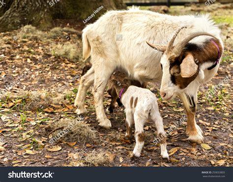 The Nanny Goat S Kid nanny goat looking baby stock photo