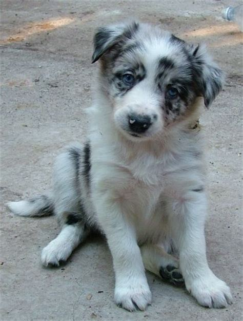 border collie puppies near me the 25 best border collie blue merle ideas on blue merle merle