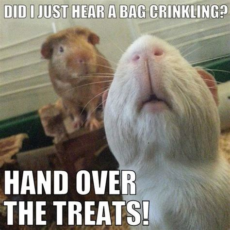 Shaved Guinea Pig Meme - hand over the treats guinea pig memes humor