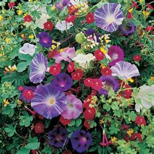 annual climbing plants mixed climbing annuals seeds from mr fothergill s seeds