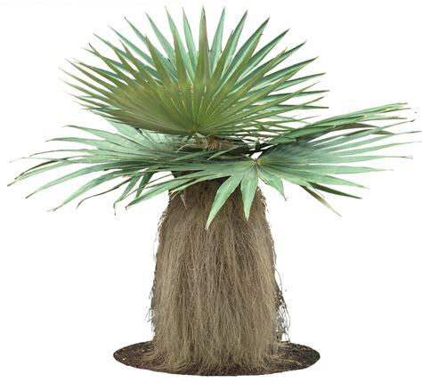 tropical plant pictures coccothrinax crinita  man palm