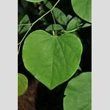 Eastern Redbud Leaves | 252 x 379 jpeg 60kB