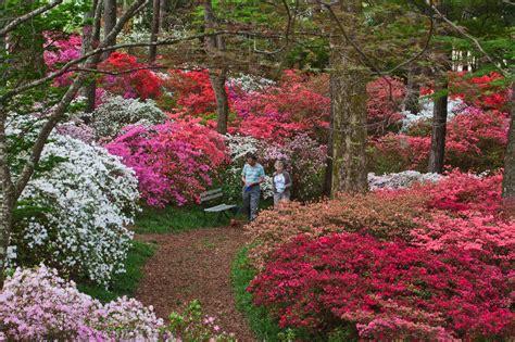 steve crain azaleas are blooming