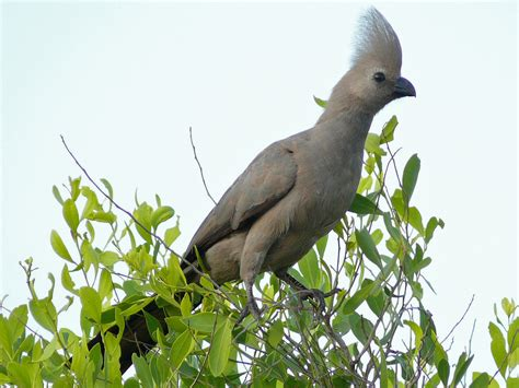 grey go away bird lourie kwevo 235 l birds of south