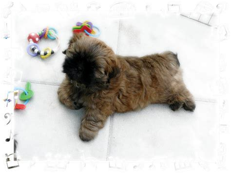 shih tzu for sale in sc ga shih tzu shih tzu puppies for sale in fl al tn sc nc atl breeds picture