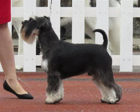 black and silver giant schnauzer puppies file miniature schnauzer black and silver 1 jpg