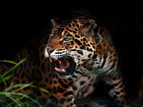 google imagenes de jaguares 63 best ideas about animals muses writing inspiration on