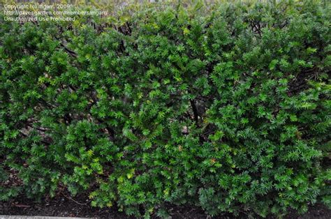plantfiles pictures anglojap yew vermeulen taxus x media by mgarr