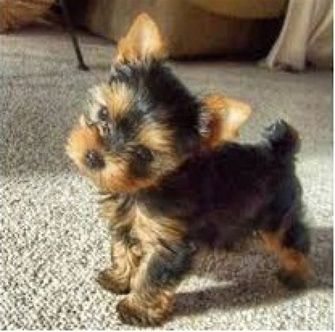 yorkie in a teacup outstanding teacup yorkie puppies ready text 302 417 2650 dogs