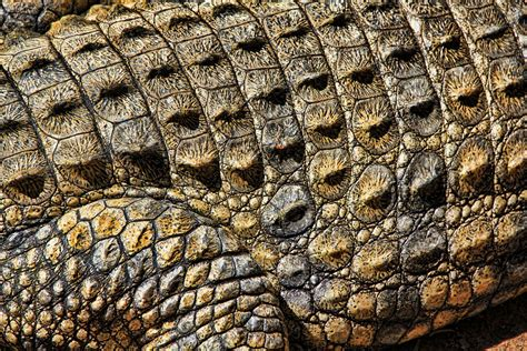 texture and pattern in nature free photo crocodile texture nature free image on