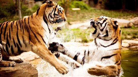 tigers playing wallpapers hd wallpapers id