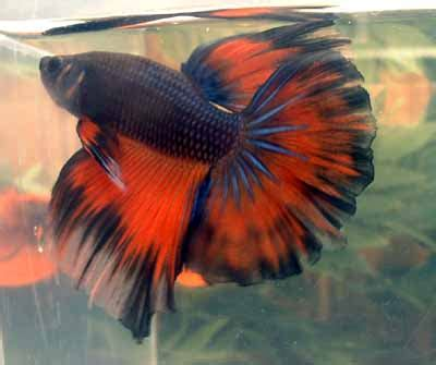 betta colors butterfly betta www pixshark images galleries with