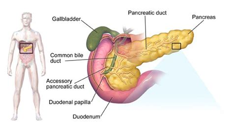 where is your pancreas located in your diagram pancreas