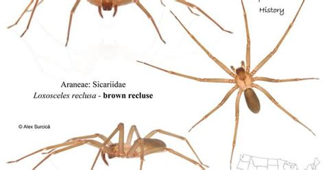 violin pattern on brown recluse the brown recluse spider or violin spider loxosceles