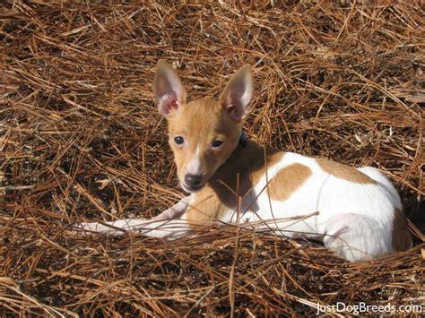 fox breed fox terrier breeds