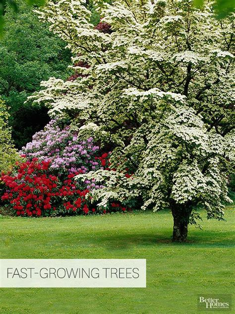 fast growing flowering evergreen shrubs 10 best ideas about privacy trees on privacy