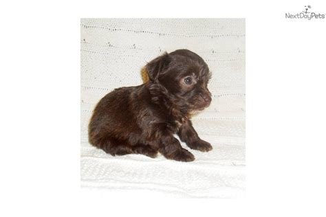 chocolate yorkie poo the gallery for gt chocolate yorkie poo